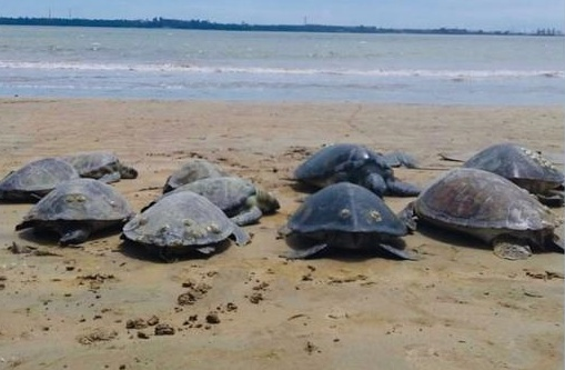 Tartarugas mortas em rede. Foto: Divulgação/PMV