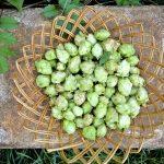 Lúpulos são flores usadas nas receitas de cerveja que acrescentam amargor e aroma à bebida. Foto: Pixabay