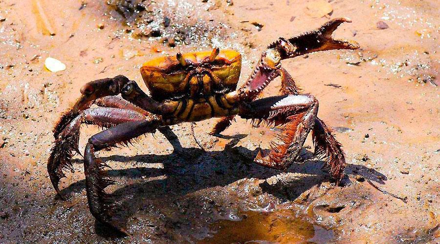 Proibidas captura e comercialização do caranguejo-uçá a partir da próxima sexta-feira. Foto: Felix Falcao