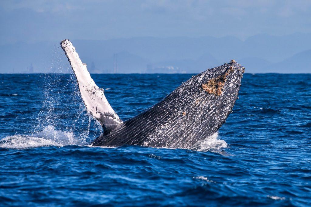 Observação de baleias em Vitória e Vila Velha. Fotos: Leonardo Merçon/Amigos da Jubarte