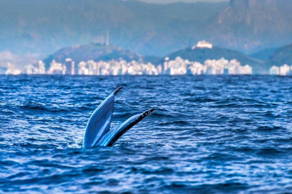 Observação turística de baleia no Espírito Santo. Fotos: Leonardo Merçon/Amigos da Jubarte