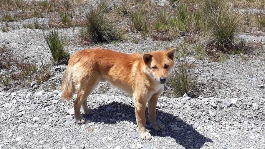 Considerado extinto há 50 anos, 'cão cantor' é encontrado na Indonésia. Foto: Reprodução/New Guinea Highland Wild Dog Foundation