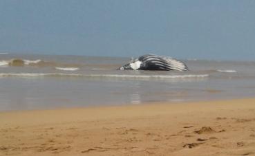 Carcaça de baleia foi encontrada na praia de Manguinhos nesta quarta-feira. Foto: Reprodução