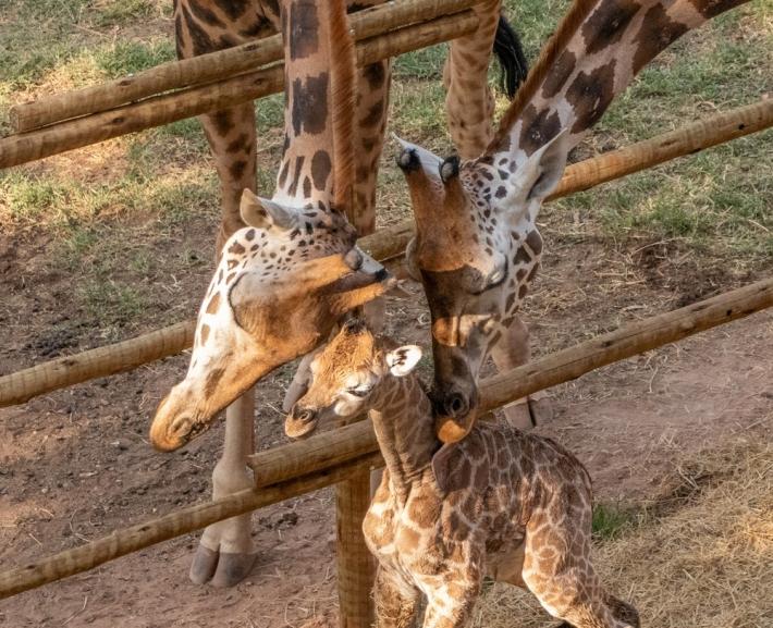 Girafinha com os pais em zoo de Itatiba. Foto: Zooparque/Divulgação