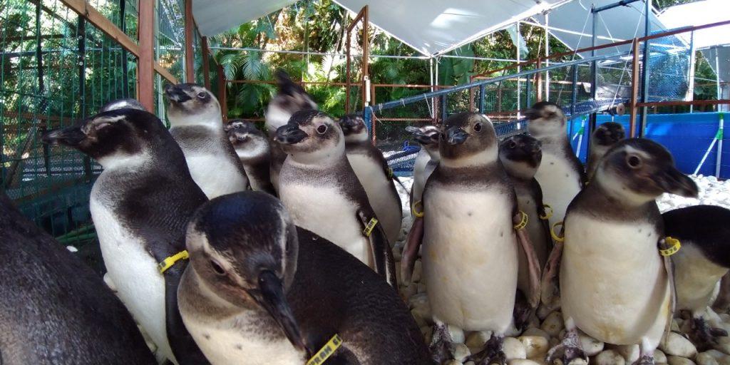 Pinguins na reabilitação. Foto: Divulgação/Iema