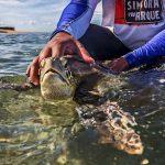 Tartaruga-marinha na Ilha de Coroa Vermelha, sul da Bahia. Foto: Divulgação