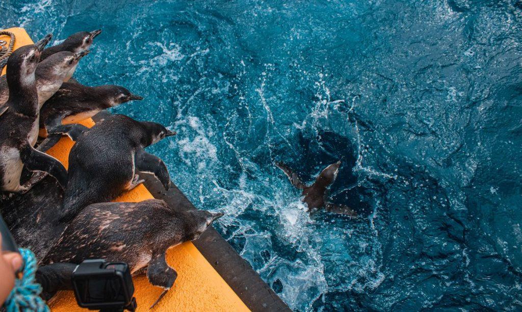 Soltura de pinguins. Foto: Agência Petrobras